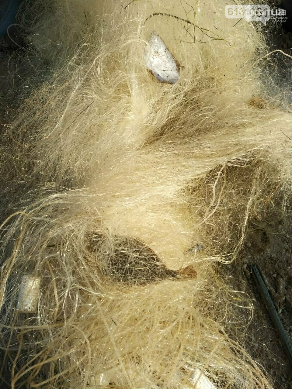 Гибель азовской хамсы на Молочном лимане, фото-5